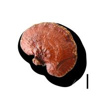 champignon-reishi-perform-cacao