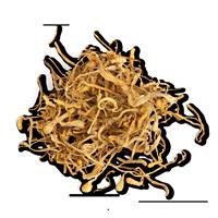 extrait-cordyceps